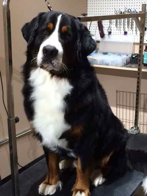 Bernese mountain Dog pet Grooming