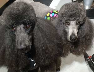 Grooming Pet Poodles